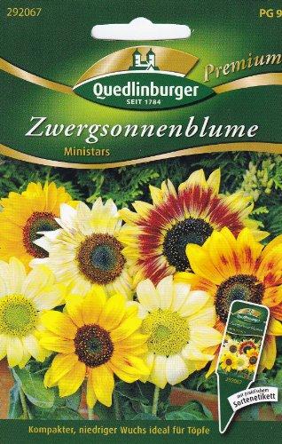 Quedlinburger Saatgut Zwergsonnenblumen, Ministars Samen