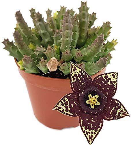 Fangblatt - Stapelia variegata - groß blühende Aasblume - außergewöhnliche Sukkulente -...