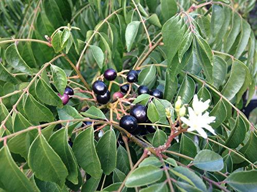 Pinkdose Curry Leaf Tree - kleine oder mittlere Baum Samen Samen Pflanzensamen für Garten-Pack Seed