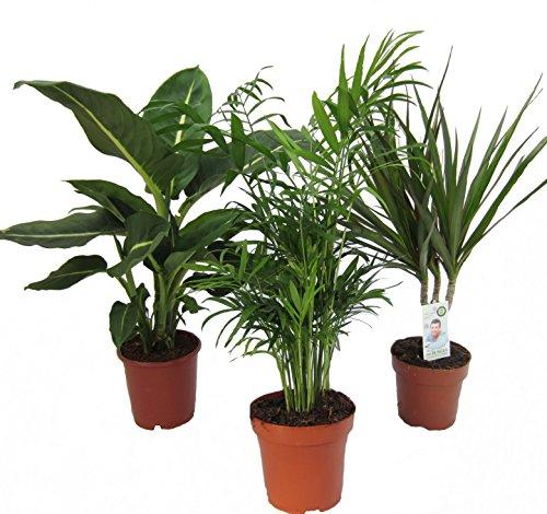 Dominik Blumen und Pflanzen, Zimmerpflanzen Set aus 1x Diefenbachie, 1x Zimmerpalme und 1x...