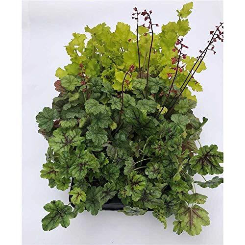 Heuchera Mix Set grün, Purpurglöckchen, 6 Töpfe a 12 cm - winterhart, in Gärtnerqualität von...