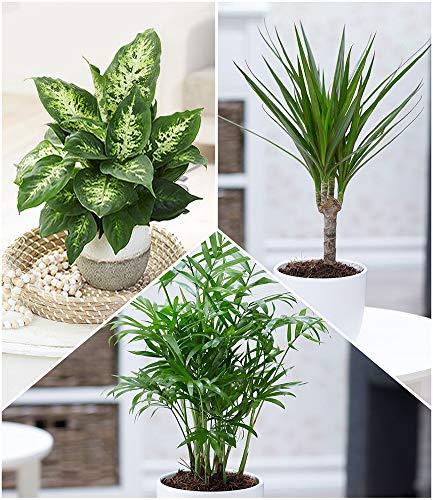 BALDUR Garten Luftreinigender Zimmerpflanzen-Mix 'Fresh Air', 3 Pflanzen Dieffenbachie, Dracena...