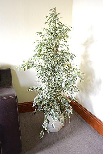 Zimmerpflanze für Wohnraum oder Büro – Ficus benjamina – Birkenfeige mit weißbunter...