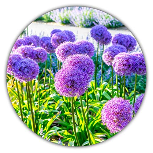 Riesenlauch/Zierlauch (Allium giganteum) / ca. 50 Samen/Wuchshöhen von 80 bis 150...