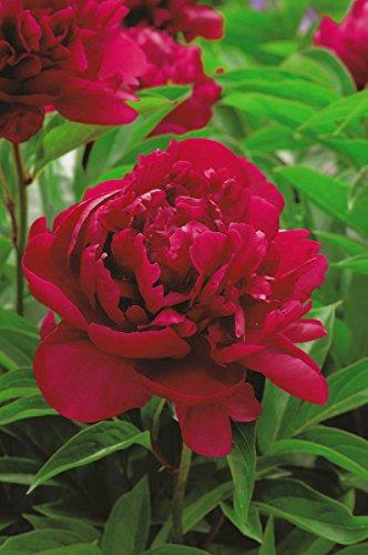 Paeonia Madame Gaudichau - Pfingstrose, Paeony - Madame Gaudichau - 1 Blumenzwiebeln