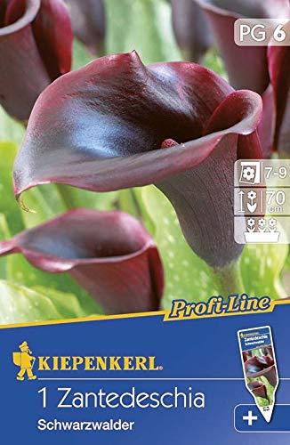 Blumenzwiebeln - Zantedeschia Schwarzwalder von Kiepenkerl
