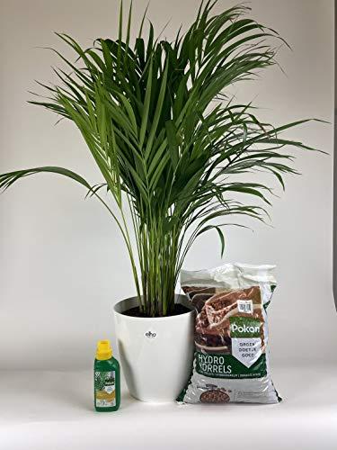Areca Palm mit Pflege-set | Areca in ELHO Ziertopf Weiß | Inkl. D?nger und Hydrokörner | Höhe...