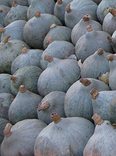 Seedeo Kürbis Blue Ballet (Cucurbita maxima Duch.) 7 Samen BIO