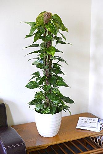 Zimmerpflanze für Wohnraum oder Büro – Scindapsus aureus – Efeutute – Buntes Herzblatt,...