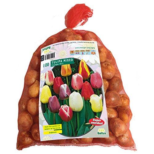 Tulipa Darwin Mix.100 Stück Tulpen Blumenzwiebel