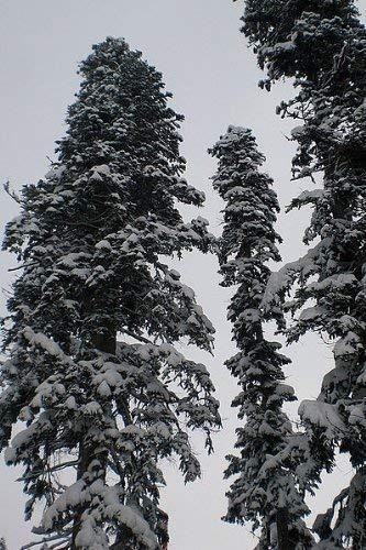 Echte Nordmanntanne (Abies nordmanniana) 100 Samen -Beliebtester Weihnachtsbaum- Frisches Saatgut