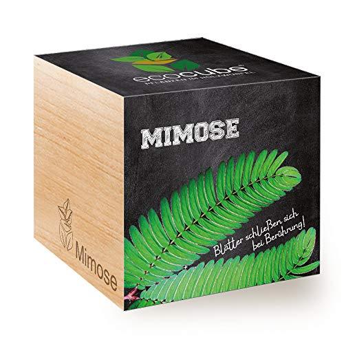 Feel Green Ecocube Mimose, Blätter Schließen Sich bei Berührung, Nachhaltige Geschenkidee (100%...