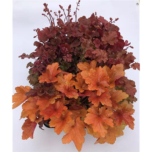 Heuchera Mix Set rot-orange, Purpurglöckchen, 6 Töpfe a 12 cm - winterhart, in Gärtnerqualität...