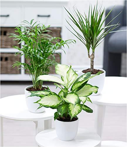 BALDUR Garten Zimmerpflanzen-Mix Classic, 3 Pflanzen Luftreinigende Zimmerpflanze 1 Pflanze...