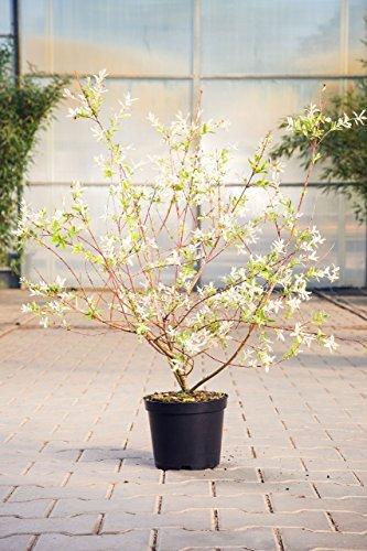 Zierweide Hakuro Nishiki, 60-100 cm, Zierstrauch winterhart-Frühblüher, Busch für...
