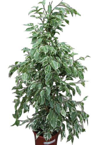Zimmerpflanze für Wohnraum oder Büro - Ficus benjamina variegata - Mehrfarbige hängende...