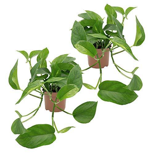 Dominik Blumen und Pflanzen, Efeutute, Epipremnum aureum, 2 Pflanzen, Zimmerpflanzen, rankend,...