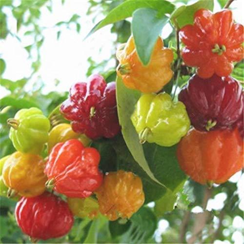 Pagacat Mehrfarbige Pfeffer-Samen-Chili-Gemüsepflanze 100 Samen Blumensamen