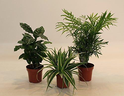Dominik Blumen und Pflanzen, Indoor-Trio - Kaffee-Pflanze Coffea arabica, Grünlilie Chlorophytum...