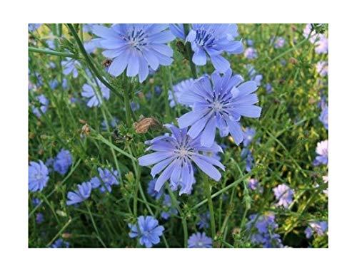 Wegwarte - Cichorium intybus - 1000 Samen