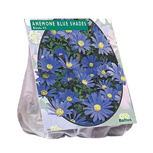 Anemone Blanda blau 100 Stück Blumenzwiebel