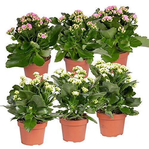 Pflanzen Kölle Flammendes Käthchen 'Calandiva'®, 6er-Set, weiß & rosa, Höhe ca. 20-30 cm, Topf...