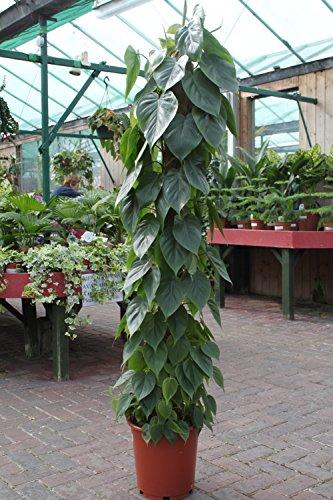 Zimmerpflanze für Wohnraum oder Büro – Philodendron scandens – Kletterphilodendron- 1.4M