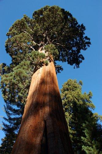 Seedeo® Anzuchtset Berg - Mammutbaum (Sequoiadendron giganteum) 50 Samen