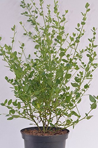immergrüne Säckelblume Ceanothus impressus Victoria 30-40 cm hoch im 3 Liter Pflanzcontainer