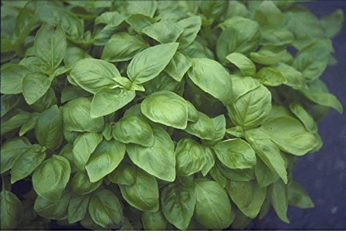 JustSeed - Kraut - Sweet Genovese - Basilikum (Ocimum Basilicum) - 6000 Samen