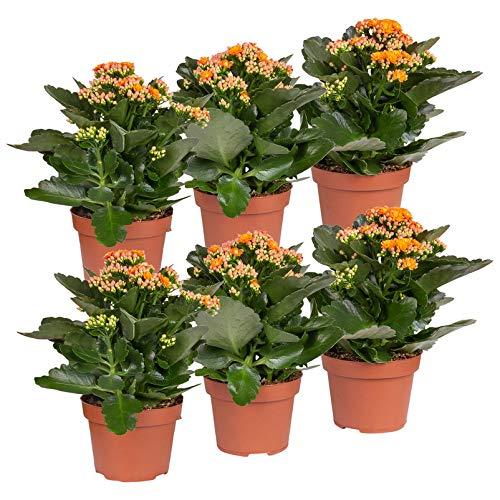 Pflanzen Kölle Flammendes Käthchen 'Calandiva'®, 6er-Set, Kalanchoe blossfeldiana, orange,...