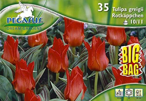 Big Bag Botanische Tulpen Rotkäppchen