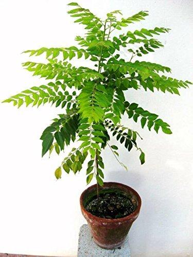 Pinkdose® Kraut Samen - Curry Blatt Pflanzensamen Kleine Busch Samen Pflanzensamen Für Garten Pack...