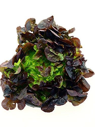 Gekräuselter Salat 'Lollo Rosso' (Lactuca sativa var. crispa) 250 Samen rotbrauner Lollo rot