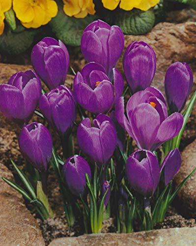 25 Großblumige Krokusse Grand Maitre Blumenzwiebeln Crocus