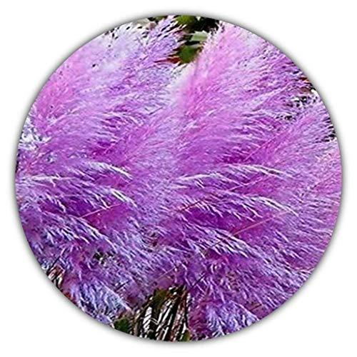 Lila Pampasgras (Cortaderia selloana) / Ziergras / 50 Samen/farbenfroher Blütenstand in...