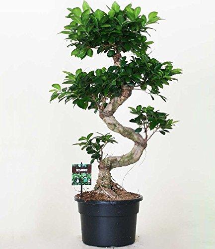 BALDUR-Garten Zimmerbonsai Ficus Ginseng ca. 50 cm hoch, 1 Pflanze Feigenbaum Zimmerpflanze...