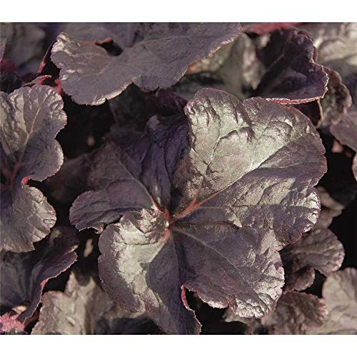 Heuchera - Purpurglöckchen'Obsidian' - winterhart, im Topf 12 cm, in Gärtnerqualität von Blumen...