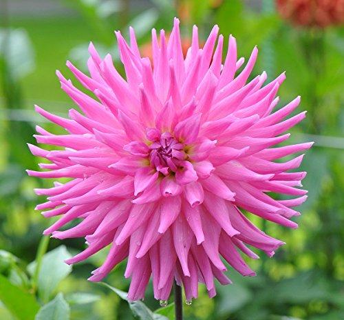 Dahlia, Dahlien, Georginen Cactus Pink - Blumenzwiebel/Knolle/Wurzel