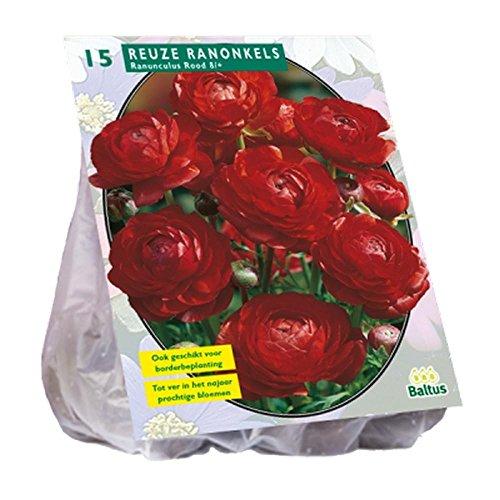 Ranonkel, Rood 15 Stück Ranunkel rot Blumenzwiebel