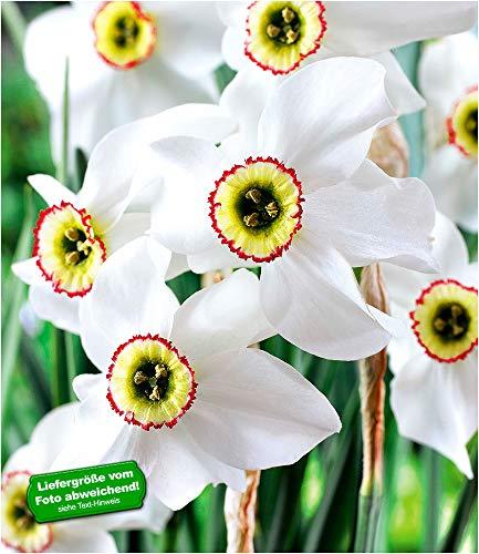 BALDUR-Garten Narzisse Recurvus winterhart, 8 Zwiebeln Narcissus Osterglocke Blumenzwiebeln