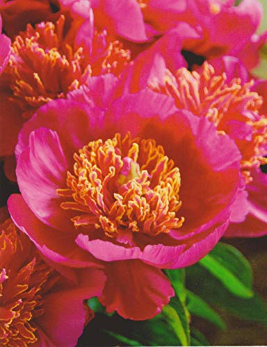 Pfingstrose Neon Paeonia Lactiflora'1 Wurzelstück mit Augen' Rarität