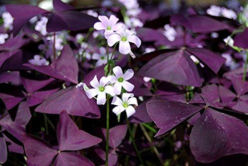 Oxalis, Sauerklee Triangularis - 5 Blumenzwiebeln