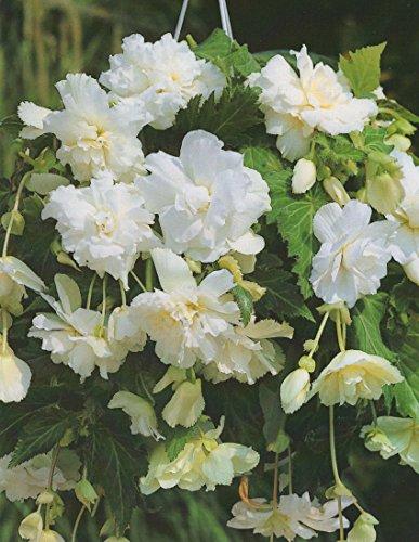 Begonien pendula hängend in weiß gefüllt Blumenzwiebeln Knollenbegonie (5 Blumenzwiebeln)