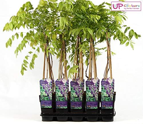 Wisteria sinensis Prolific 70-80 cm - Chinesischer Edelblauregen Prolific