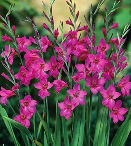 Winterharte Wild Gladiolen byzantinus (10 Blumenzwiebeln)