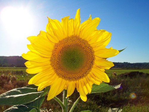 Sonnenblume (Helianthus annuus) 50 Samen