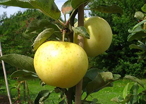 Apfelbaum groß alte Sorte Obst Baum Weißer Klarapfel Baum Busch - in Premium Baumschul Qualität,...