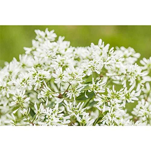 Euphorbia 'Diamond Frost - Zauberschnee™, Euphorbia hypericifolia - in Gärtnerqualität von...