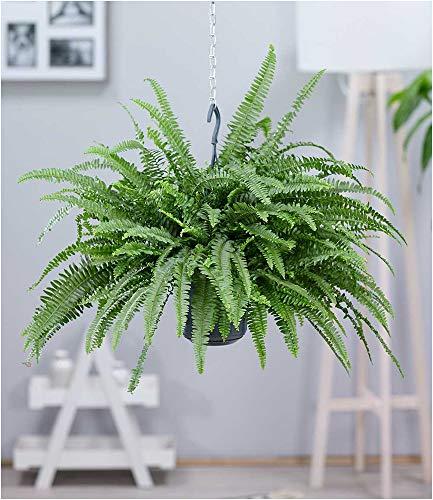 BALDUR-Garten Hängepflanze Schwertfarn, 1 Pflanze Luftreinigende Zimmerpflanze, luftreinigend...